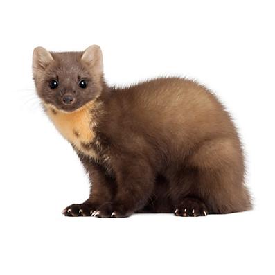 Weasel - Weasel PNG HD