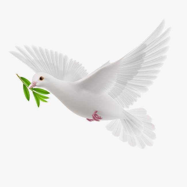 Peace Dove, Pigeon, Olive Branch, Olive PNG Image - Wedding Dove PNG HD