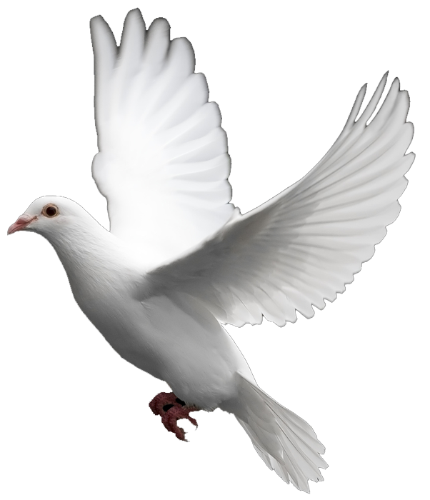 White Dove Images: The Symbol of Peace - Wedding Dove PNG HD