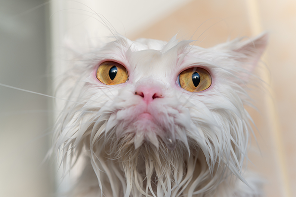A soaking-wet white cat - Wet Cat PNG