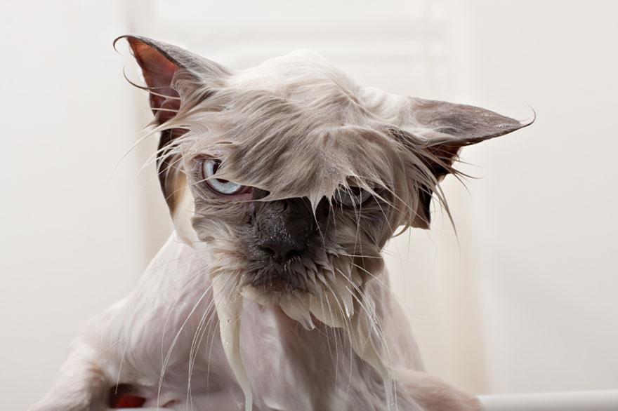 Funny Wet Cats - Wet Cat PNG