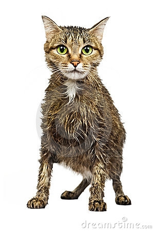 Wet Cat Clipart - Wet Cat PNG
