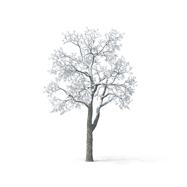 Bare Tree Covered in Snow - White Birch Tree PNG