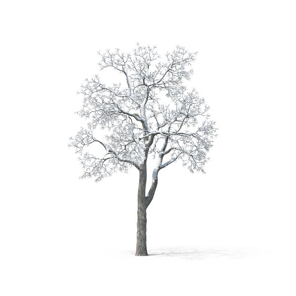 White Birch Tree PNG - 154410