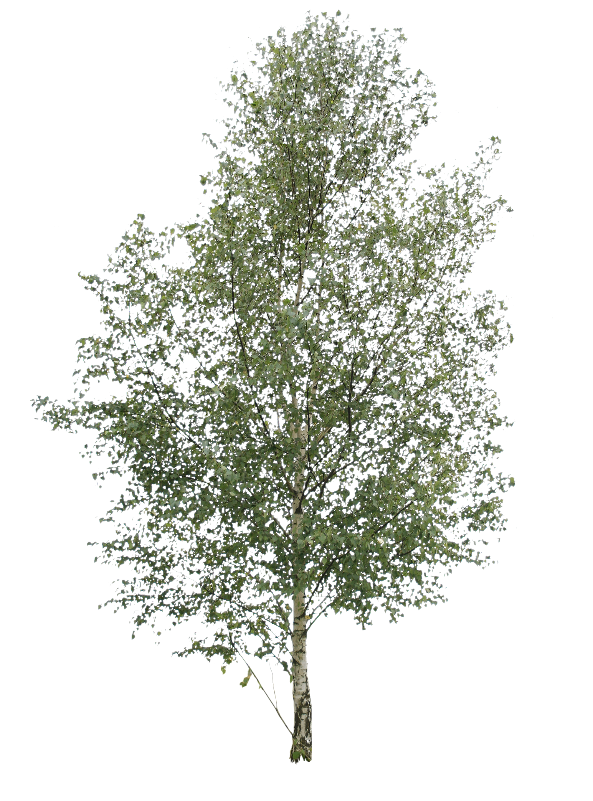 Birch - White Birch Tree PNG