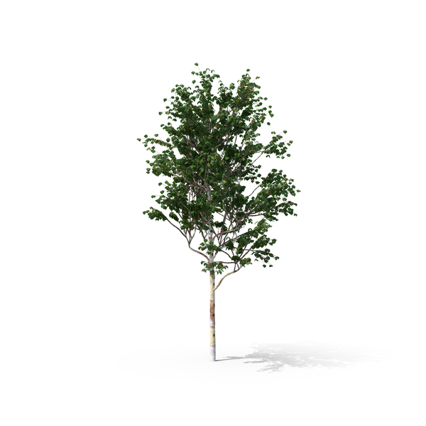 Chinese Red Birch Tree - White Birch Tree PNG