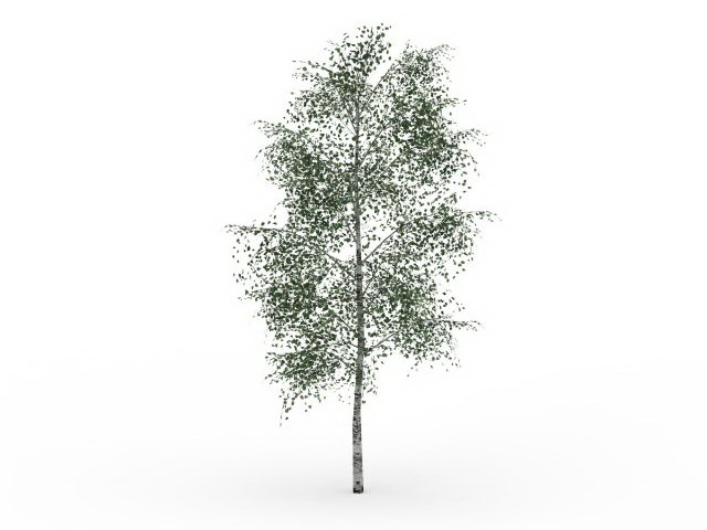Gray birch tree 3D Model - White Birch Tree PNG