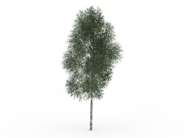 Highly detailed 3d model of mountain paper birch tree, Betula cordifolia  Mountain White Birch tree. Available 3D file format: - White Birch Tree PNG