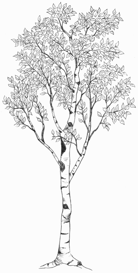 Is there anything you like about this in terms of style/shape? Would you - White Birch Tree PNG