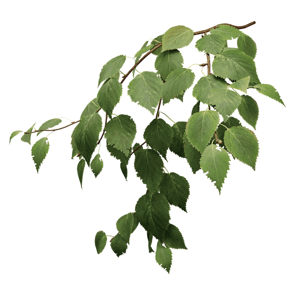 Paper Birch - White Birch Tree PNG