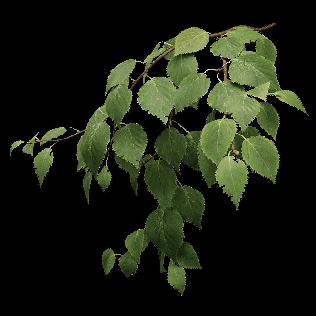 White Birch Tree PNG - 154412
