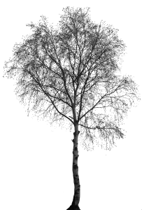 . PlusPng.com plants/ trees/ birch.png - White Birch Tree PNG