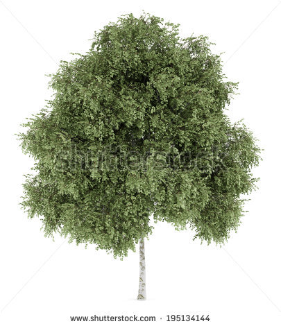 silver birch tree isolated on white background - White Birch Tree PNG