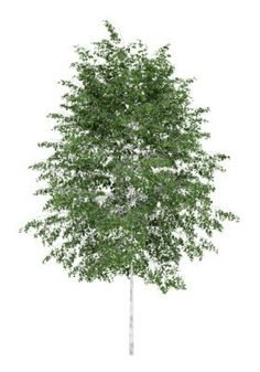 White Birch Tree PNG