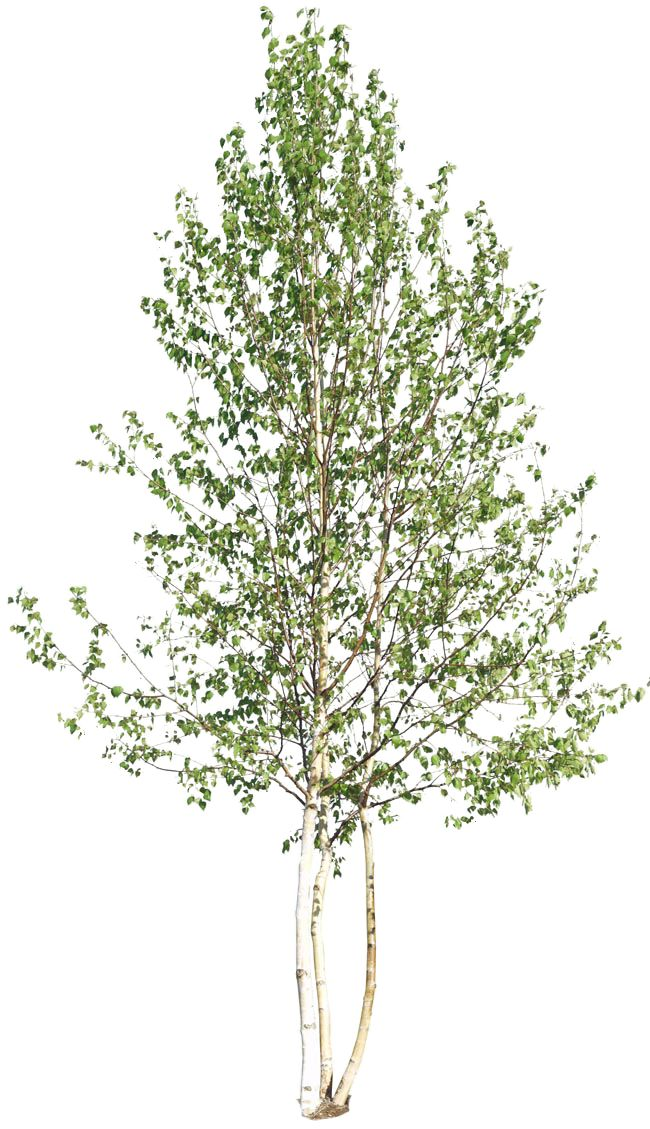 www.charlie-bruzzese pluspng.com wordpress wp-content uploads 2016 05 Deciduous_18. - White Birch Tree PNG