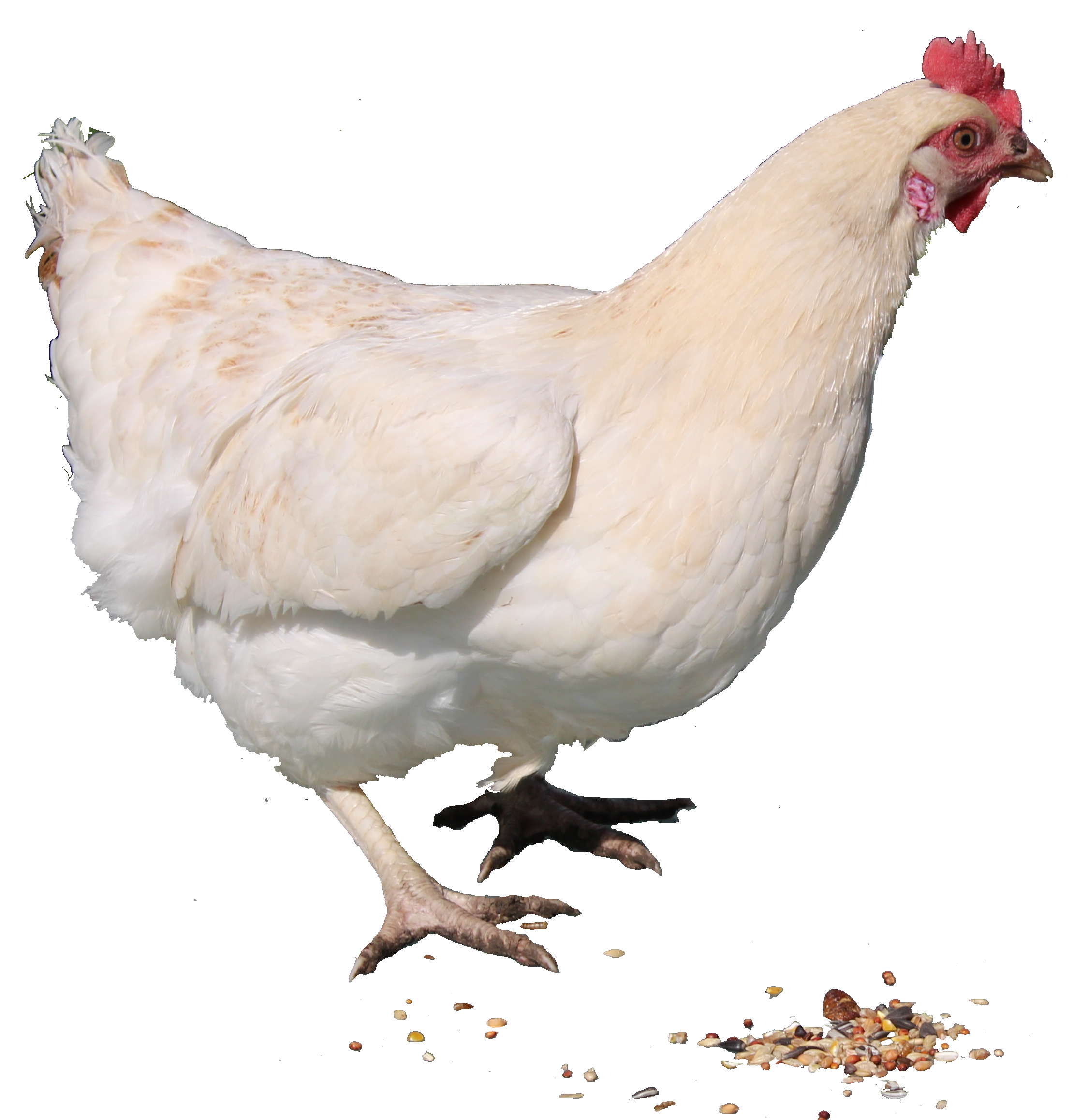 White Chicken Png image #40285 - Chicken PNG