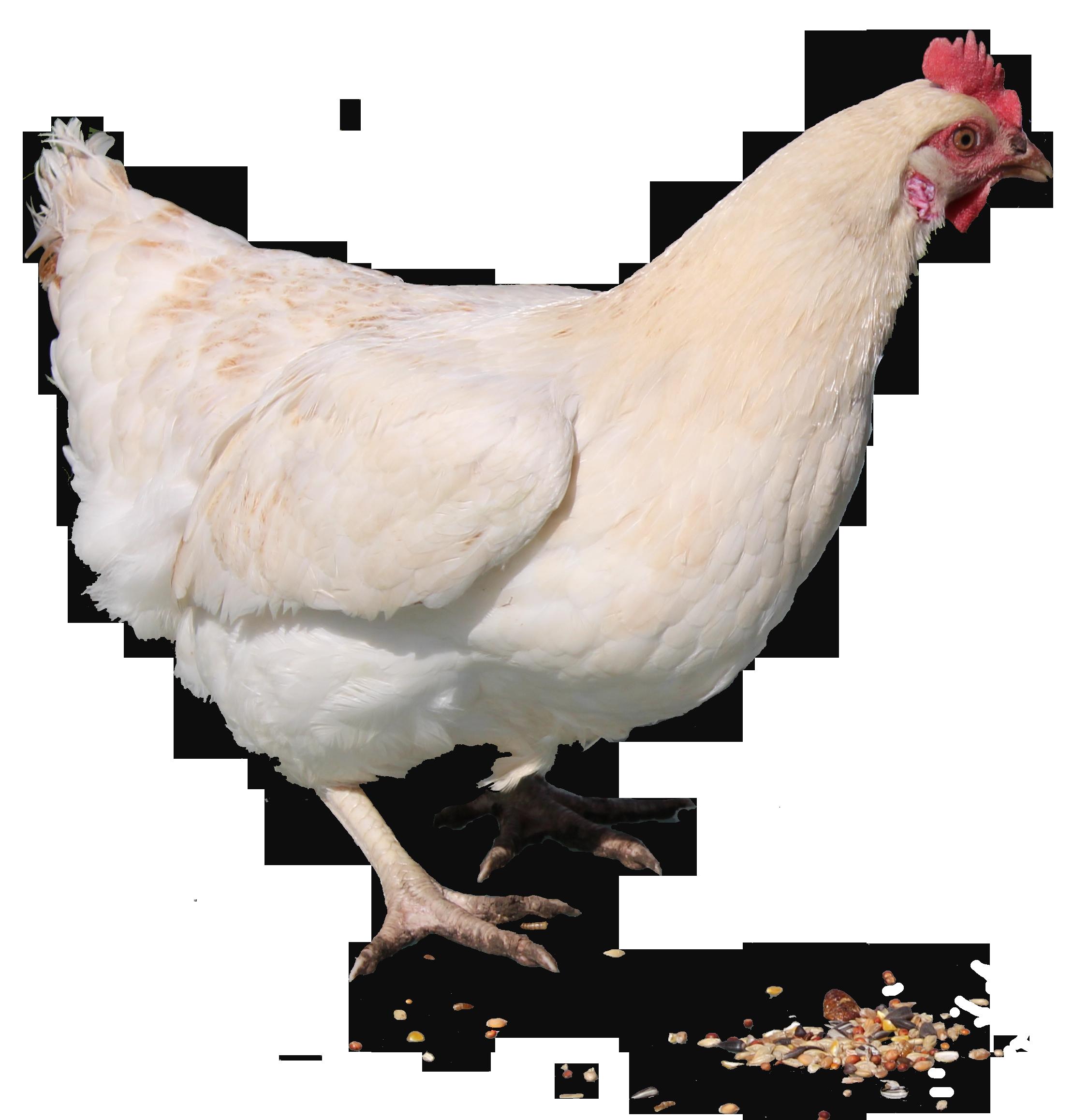 Chicken PNG - 6783
