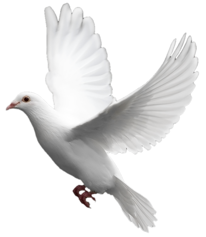 White flying pigeon PNG - Pigeon PNG