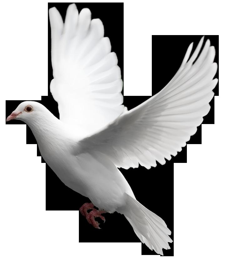 Pigeon PNG - 777