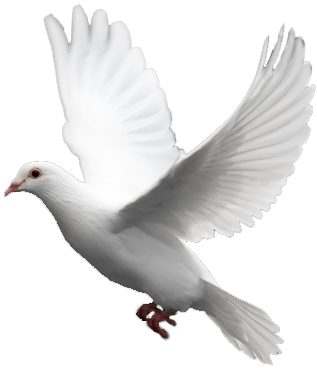 White flying pigeon PNG image - Pigeon PNG