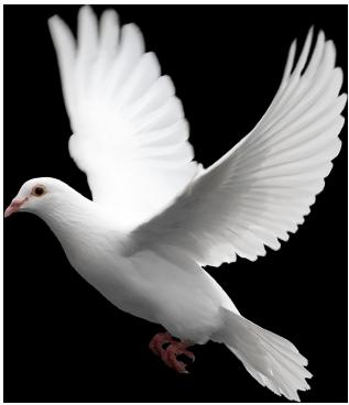 Pigeon PNG - 769