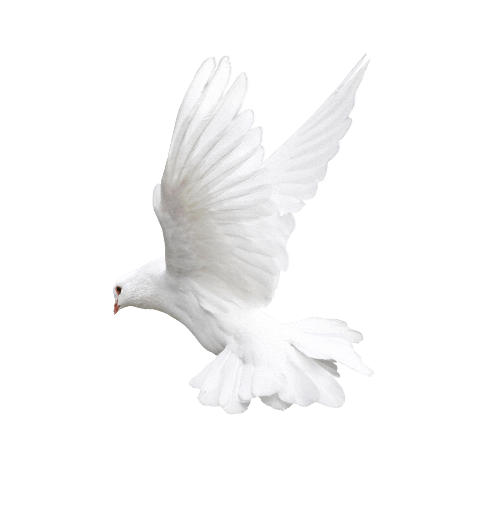 Pigeon PNG - 771