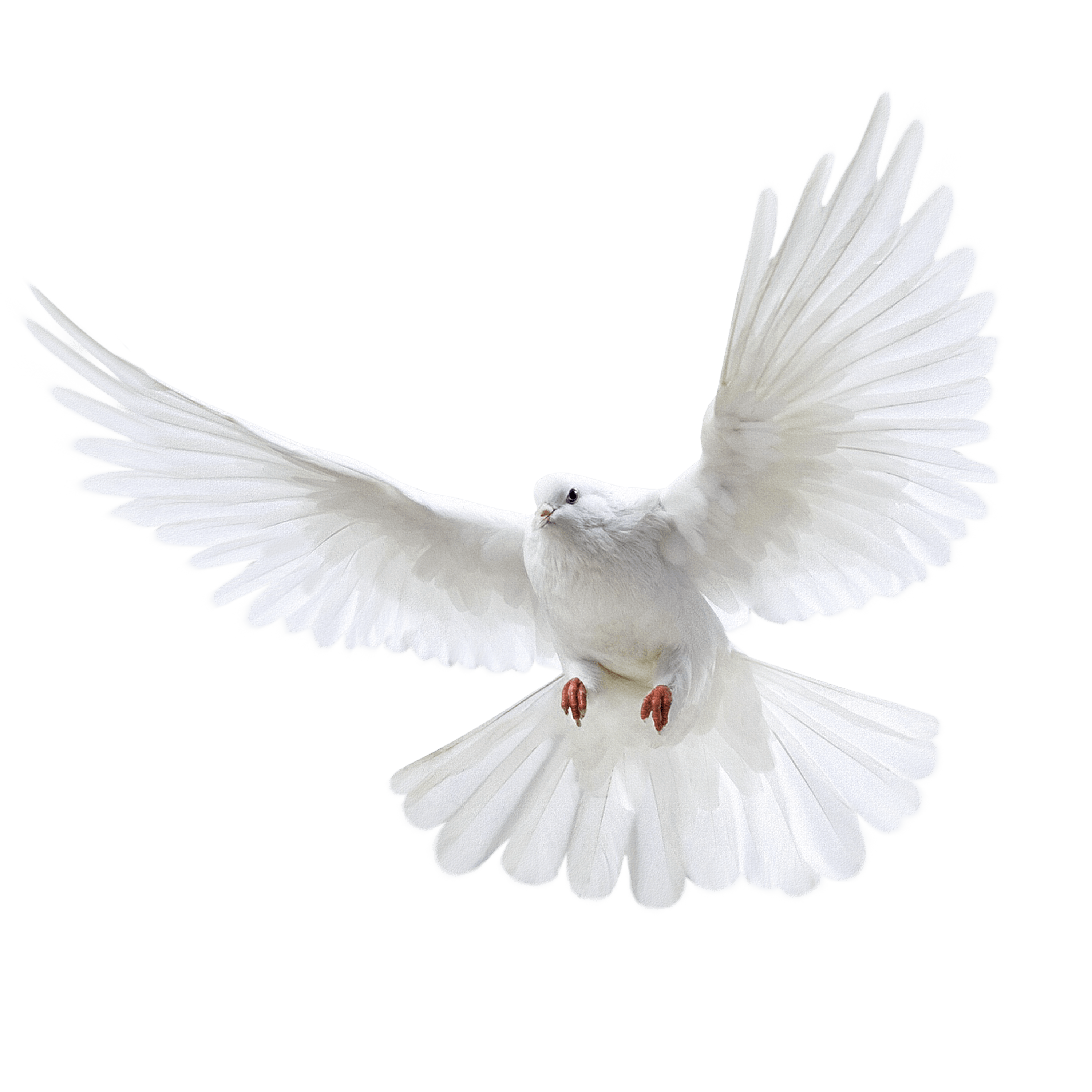 White Flying Pigeon Png Image PNG Image - Pigeon PNG