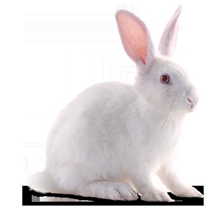 White Rabbit - Rabbit PNG