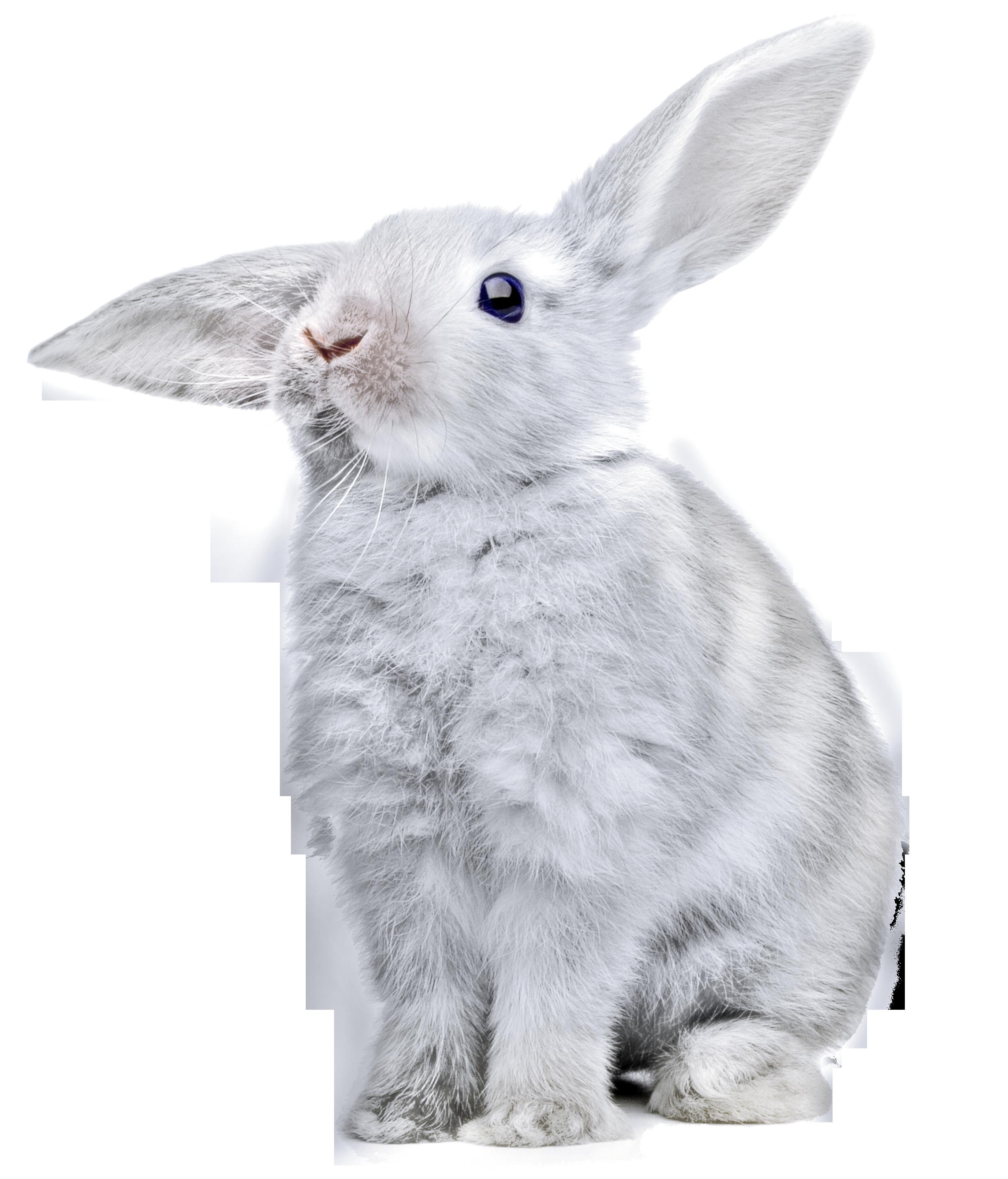 Rabbit PNG - 2868