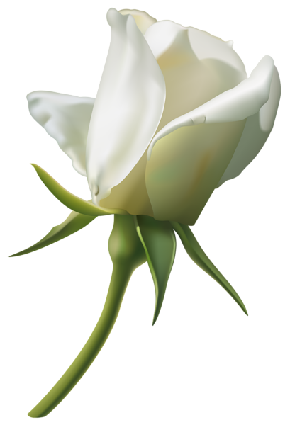 Beautiful White Rose Bud PNG Clipart Image - White Roses PNG