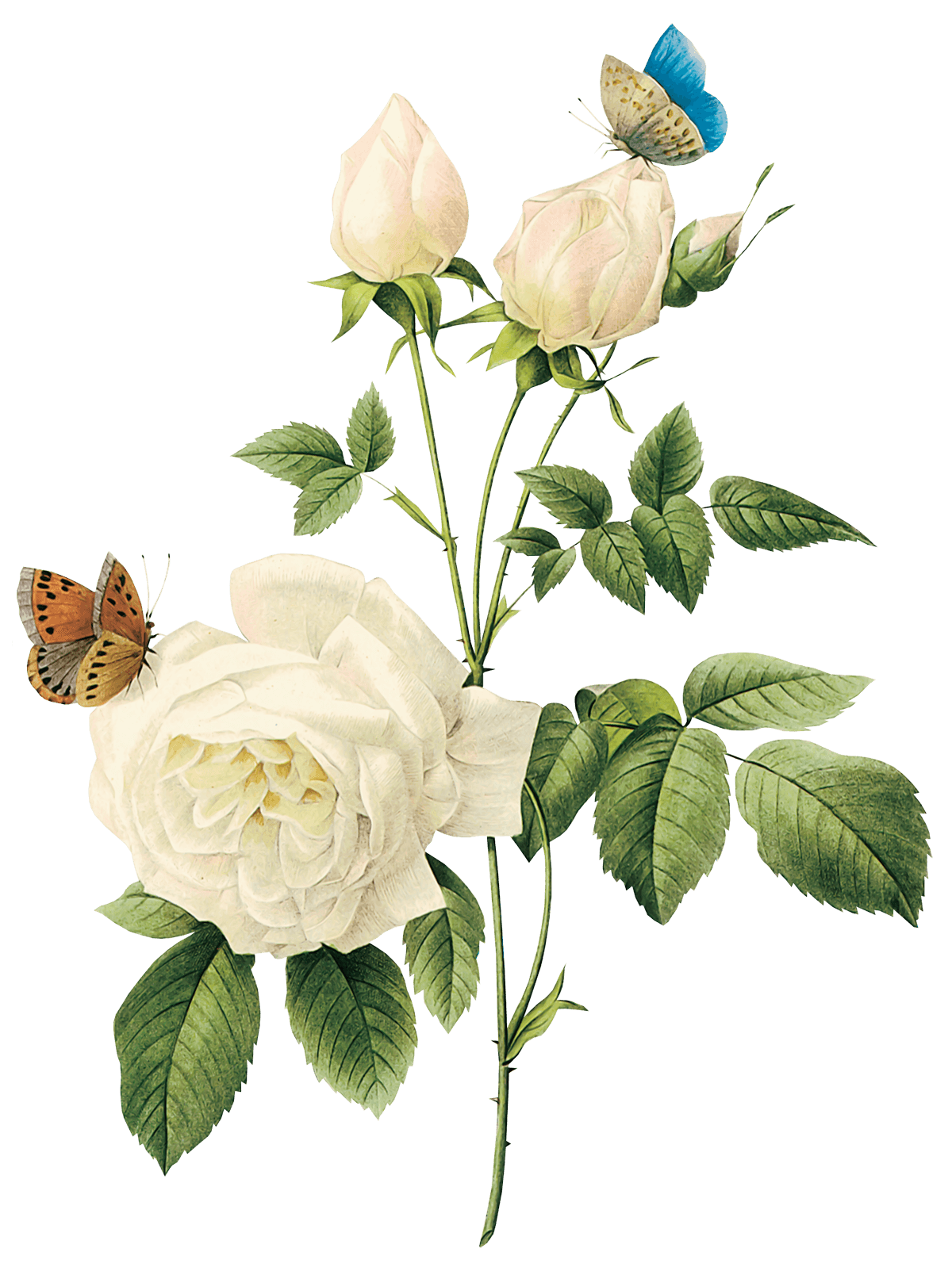 White Roses PNG - 16412