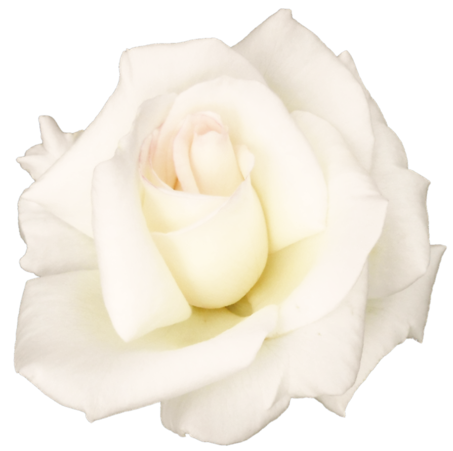 PNG File Name: White Rose PlusPng.com  - White Roses PNG