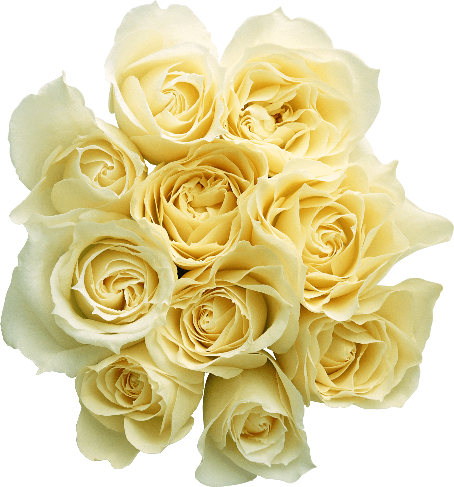 Top White Roses PNG Images - White Roses PNG