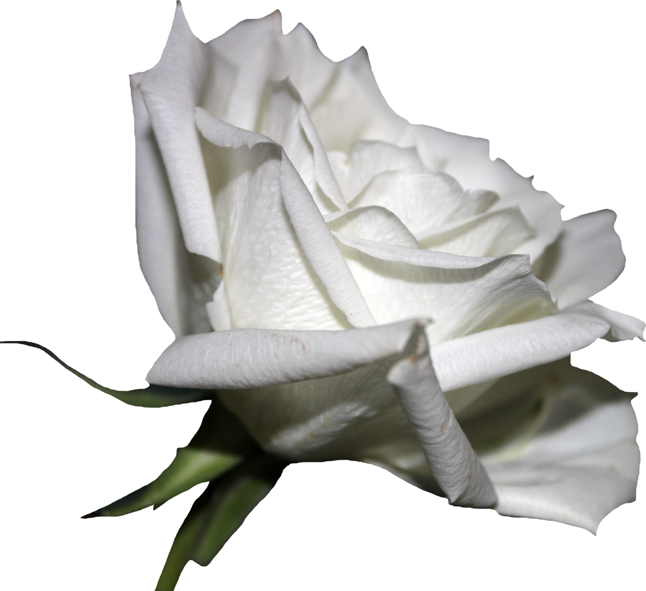 White Rose 01 PNG by Thy-Darkest-Hour - White Roses PNG
