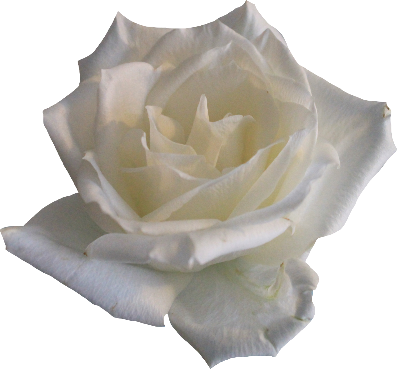 White Rose 02 PNG by Thy-Darkest-Hour - White Roses PNG