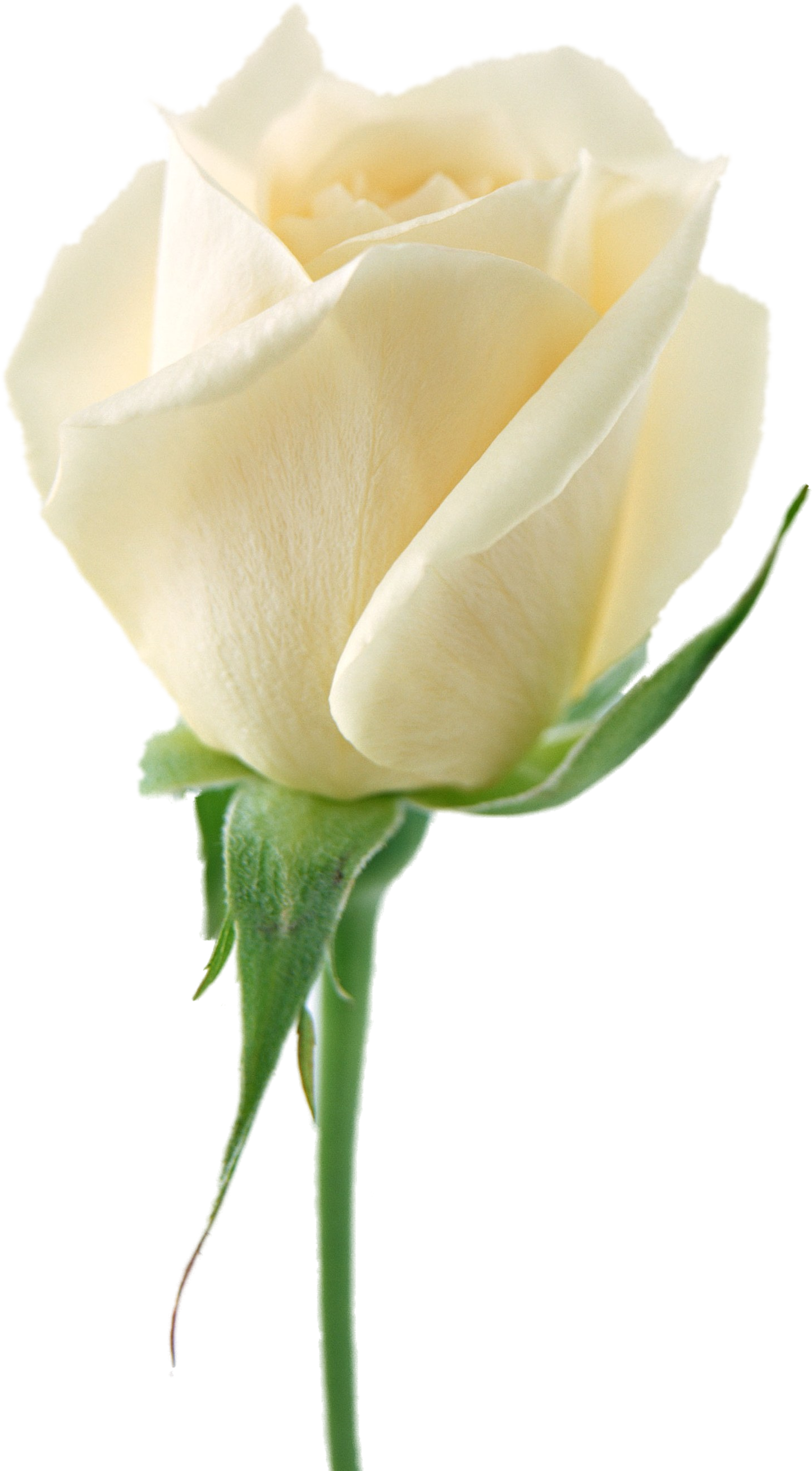 White Roses PNG - 16404