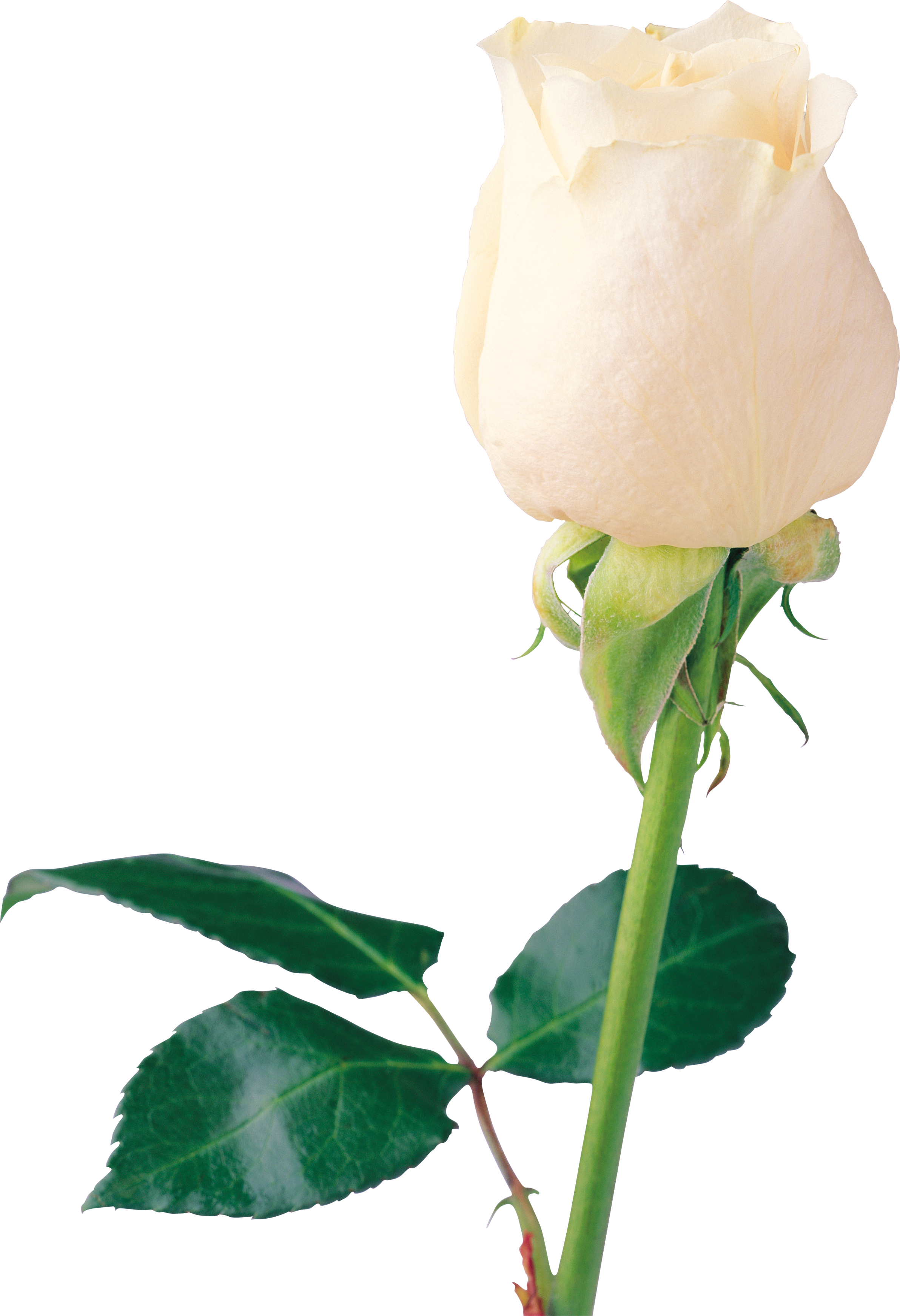 White Roses PNG - 16411