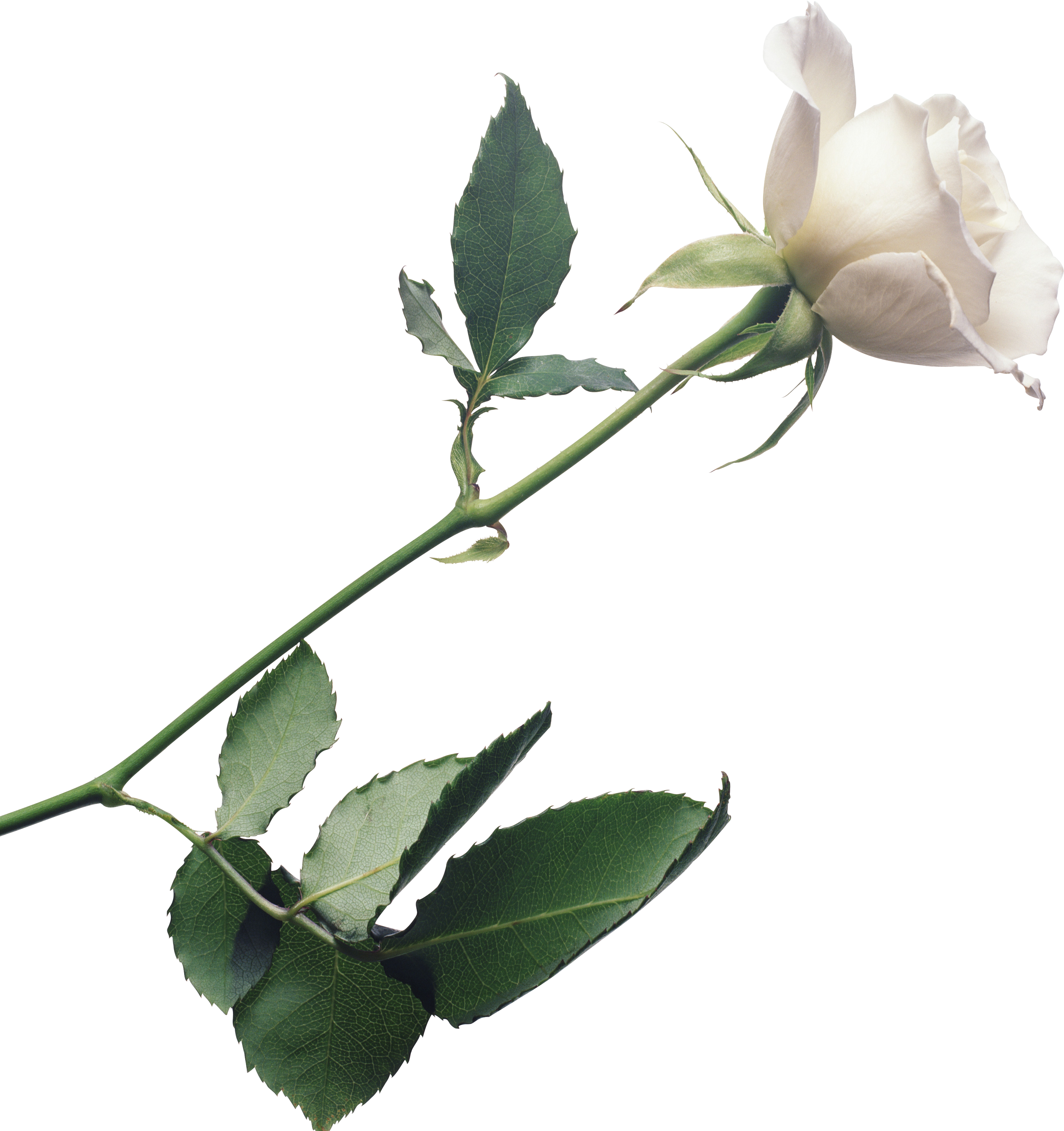 White Roses PNG - 16414