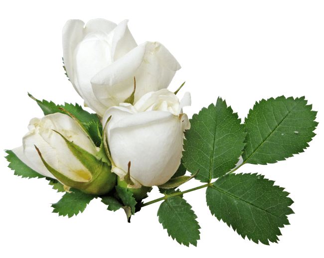 White Roses PNG - 16402