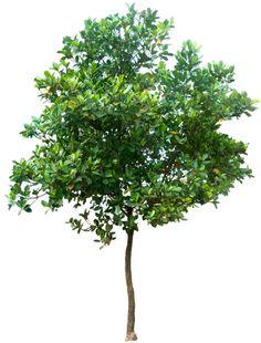 20 Free Tree PNG Images - Artocarpus heterophyllus02L - Wide Tree PNG