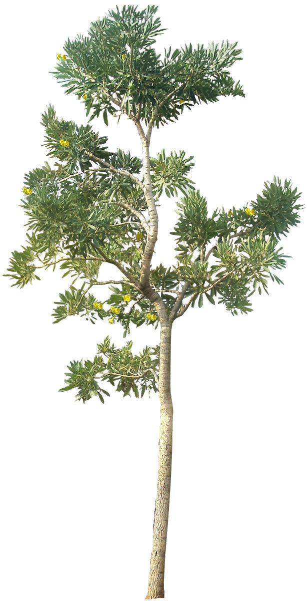 Wide Tree PNG - 55247