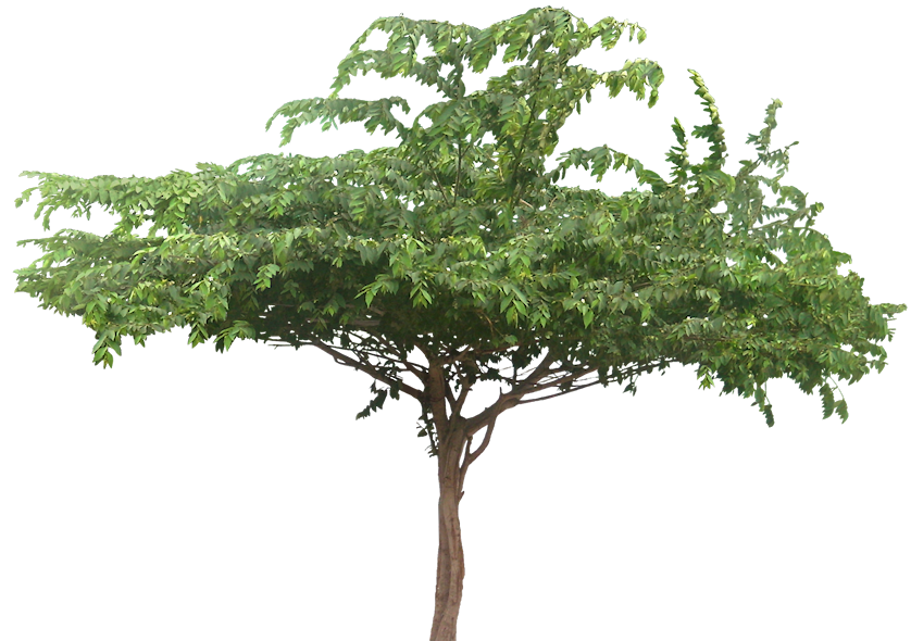 Wide Tree PNG - 55240