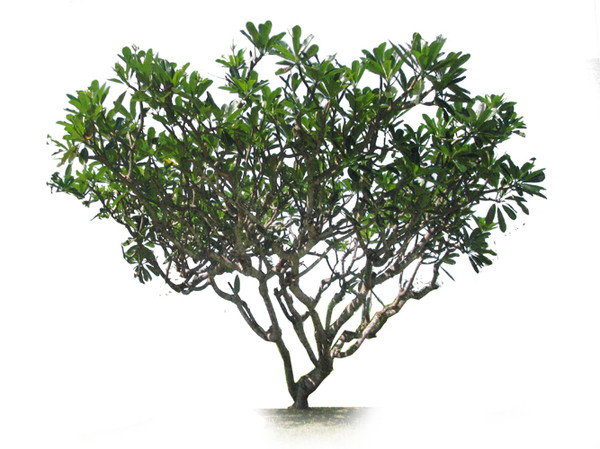 Wide Tree PNG - 55241