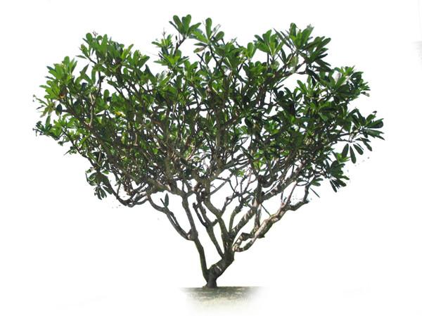 Frangipani - Wide Tree PNG