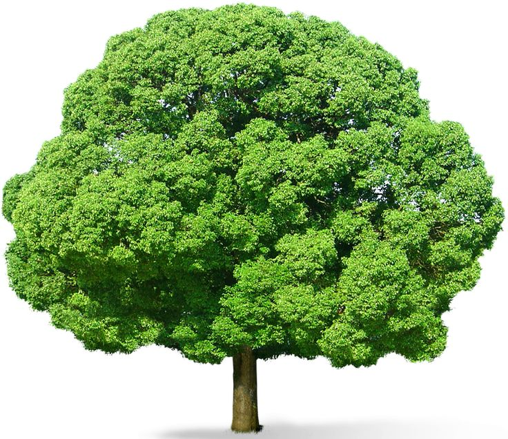 Green Tree PNG Picture - Wide Tree PNG