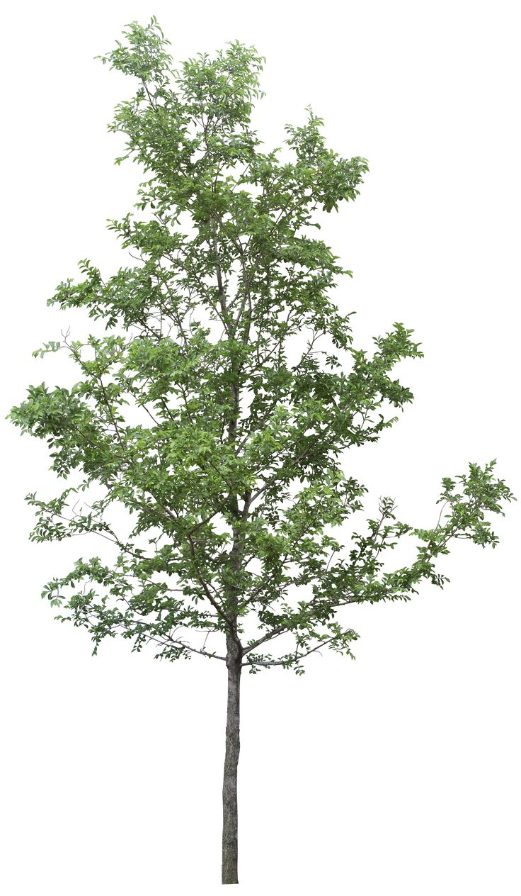 Wide Tree PNG - 55252
