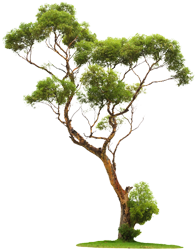 Wide Tree PNG - 55244