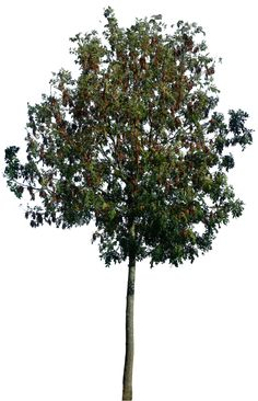 Wide Tree PNG - 55250