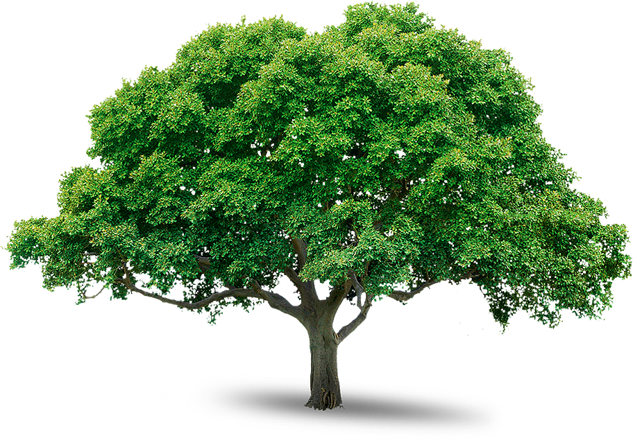 Tree Png Image, Free Download, Picture Tree Png Image, Free Download image # - Wide Tree PNG