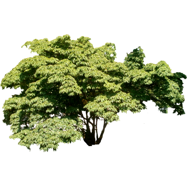 Wide-Leafy-Tree.png - Wide Tree PNG